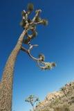 Parco nazionale dell'albero di Joshua fotografie stock libere da diritti