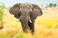 Parco nazionale di Bull. Kruger dell'elefante africano, Sudafrica fotografia stock libera da diritti