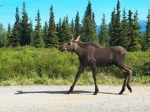 Parco nazionale di Denali Fotografia Stock