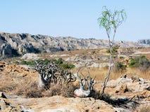 Parco nazionale di Isalo, pianta con i canyon, Madagascar del piede dell'elefante fotografia stock libera da diritti