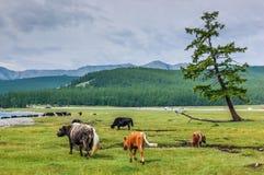 Parco nazionale di Khovsgol, Mongolia immagini stock libere da diritti