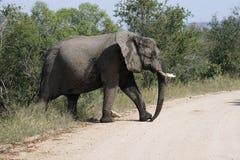 Parco nazionale di Kruger dell'elefante africano fotografia stock