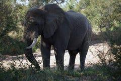 Parco nazionale di Kruger dell'elefante africano da solo nella regione selvaggia fotografia stock libera da diritti