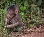 Parco nazionale di Manyara, Tanzania - babbuino del bambino Immagini Stock