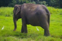 Parco nazionale di minneriya selvaggio asiatico della Sri Lanka - di Eliphant fotografie stock libere da diritti