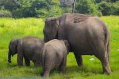 Parco nazionale di minneriya selvaggio asiatico della Sri Lanka - di Eliphant fotografia stock libera da diritti