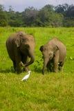 Parco nazionale di minneriya selvaggio asiatico della Sri Lanka - di Eliphant immagini stock