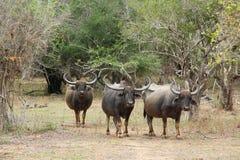 Parco nazionale di Yala nello Sri Lanka Un gregge dei bufali fotografie stock libere da diritti