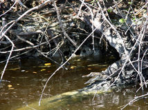 Parco nazionale Florida dei terreni paludosi Immagini Stock Libere da Diritti