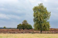 Parco nazionale olandese Veluwe con la quercia vicino alla brughiera Fotografia Stock Libera da Diritti