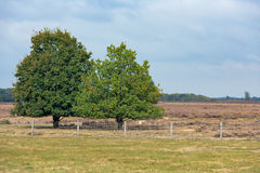 Parco nazionale olandese Veluwe con la quercia vicino alla brughiera Immagini Stock Libere da Diritti