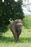 Parco nazionale selvaggio di InUdawalawe dell'elefante, Sri Lanka Immagini Stock