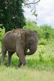 Parco nazionale selvaggio di InUdawalawe dell'elefante, Sri Lanka Fotografia Stock