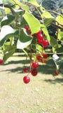 Parco redberry Fotografie Stock Libere da Diritti