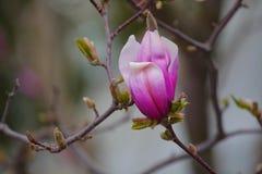 Parco rosa del fiore dell'albero della magnolia nessuno immagine stock