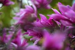 Parco rosa del fiore dell'albero della magnolia nessuno immagini stock