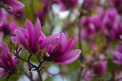 Parco rosa del fiore dell'albero della magnolia nessuno fotografia stock libera da diritti