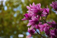 Parco rosa del fiore dell'albero della magnolia nessuno fotografie stock