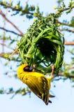 Parco Sudafrica del kruger dell'uccello del tessitore Fotografie Stock