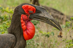 Parco a terra raro Sudafrica del kruger del bucero con lo scorpione Fotografie Stock Libere da Diritti