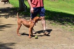 Parco verde fertile del cane con il cane felice energetico Fotografie Stock Libere da Diritti