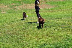 Parco verde fertile del cane con il cane felice energetico Fotografie Stock