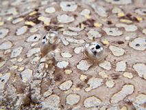 pardachirus pavoninus pawia podeszwa Fotografia Royalty Free