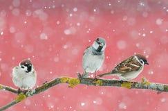 Pardais bonitos engraçados dos pássaros que sentam-se em um ramo durante uma queda de neve Imagens de Stock