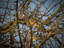 Pardais cinzentos dos pássaros, no inverno em uma árvore contra o céu fotografia de stock