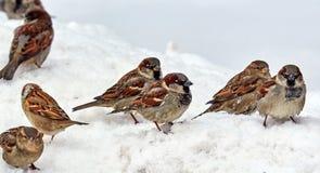 Pardais com fome na neve que procura o alimento na mola fotografia de stock royalty free