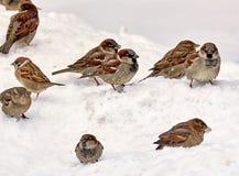 Pardais com fome na neve que procura o alimento na mola foto de stock