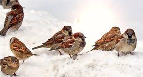 Pardais com fome na neve que procura o alimento na mola imagem de stock