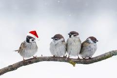 Pardais dos pássaros que sentam-se em um ramo em chapéus do Natal do inverno Imagens de Stock