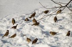 Pardais na neve no inverno fotos de stock royalty free