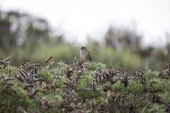 Pardal Branco-coroado & x28; Leucophrys& x29 do Zonotrichia; Fotografia de Stock