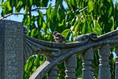 Pardal cinzento que senta-se na cerca concreta no jardim do verão fotos de stock