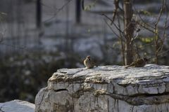 Pardal de árvore euro-asiático no parque fotos de stock
