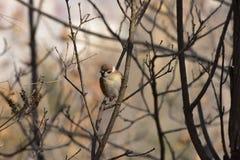 Pardal de árvore euro-asiático no parque foto de stock royalty free