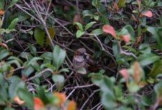 Pardal de casa no arbusto Fotografia de Stock Royalty Free