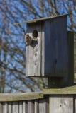 Pardal de casa que constrói uma casa em uma casa do pássaro Foto de Stock