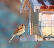 Pardal de árvore no alimentador do pássaro Fotos de Stock