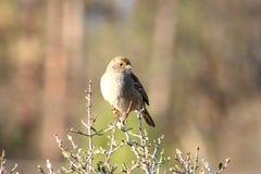 pardal Dourado-coroado em um arbusto imagem de stock