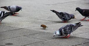 Pardal e pombos Imagens de Stock