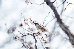 Pardal em um ramo branco da flor da árvore de abricó Foto de Stock Royalty Free