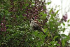 Pardal em uma árvore lilás Árvore no campo fotos de stock royalty free