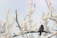 Pardal empoleirado em um membro de árvore coberto de neve Imagem de Stock Royalty Free