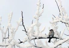 Pardal empoleirado em um membro de árvore coberto de neve Fotografia de Stock