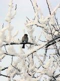 Pardal empoleirado em um membro de árvore coberto de neve Foto de Stock Royalty Free