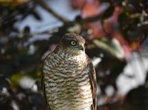 Pardal-falcão foto de stock