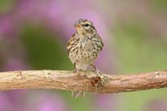 Pardal lascando-se juvenil (passerina do Spizella) Fotos de Stock